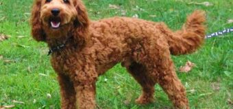 Labradoodle Texa Spuppies Sale at Uptown Puppy Mill